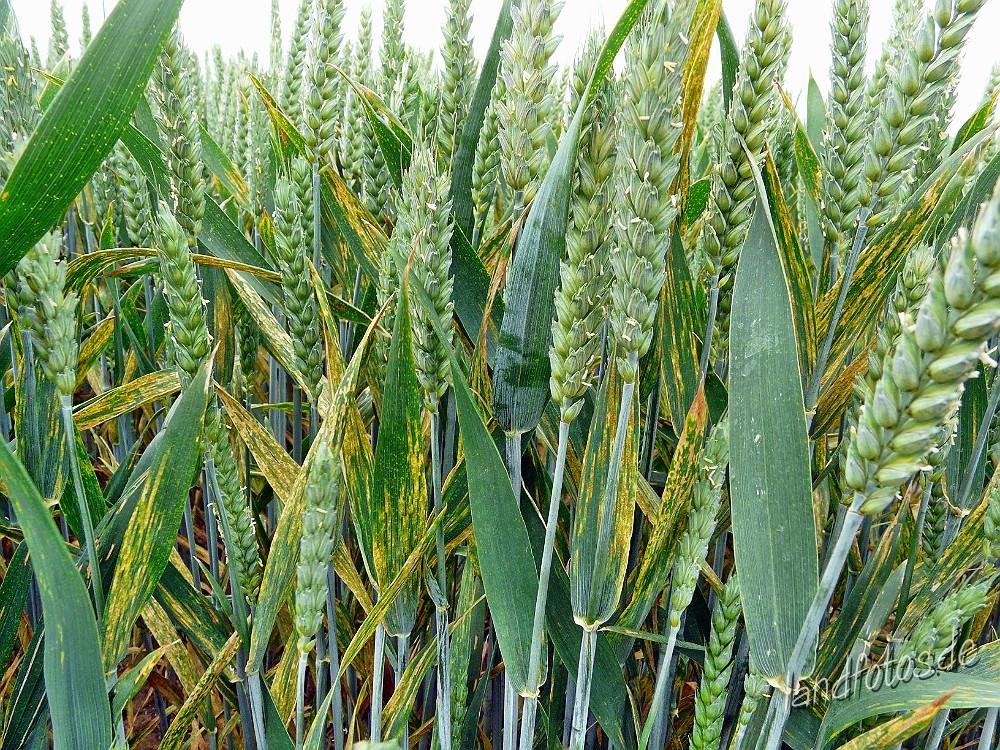 Weizenbestand mit Gelbrostbefall